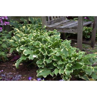 Flowering perennial purple perennials garden plants flowers shadowland wheeel hosta live plant green and cream foliage 3 gal mightylinksfo