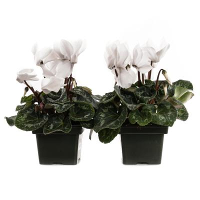 1.21-Pint White Cyclamen Latinia in 4 in. Pot (2-Pack)