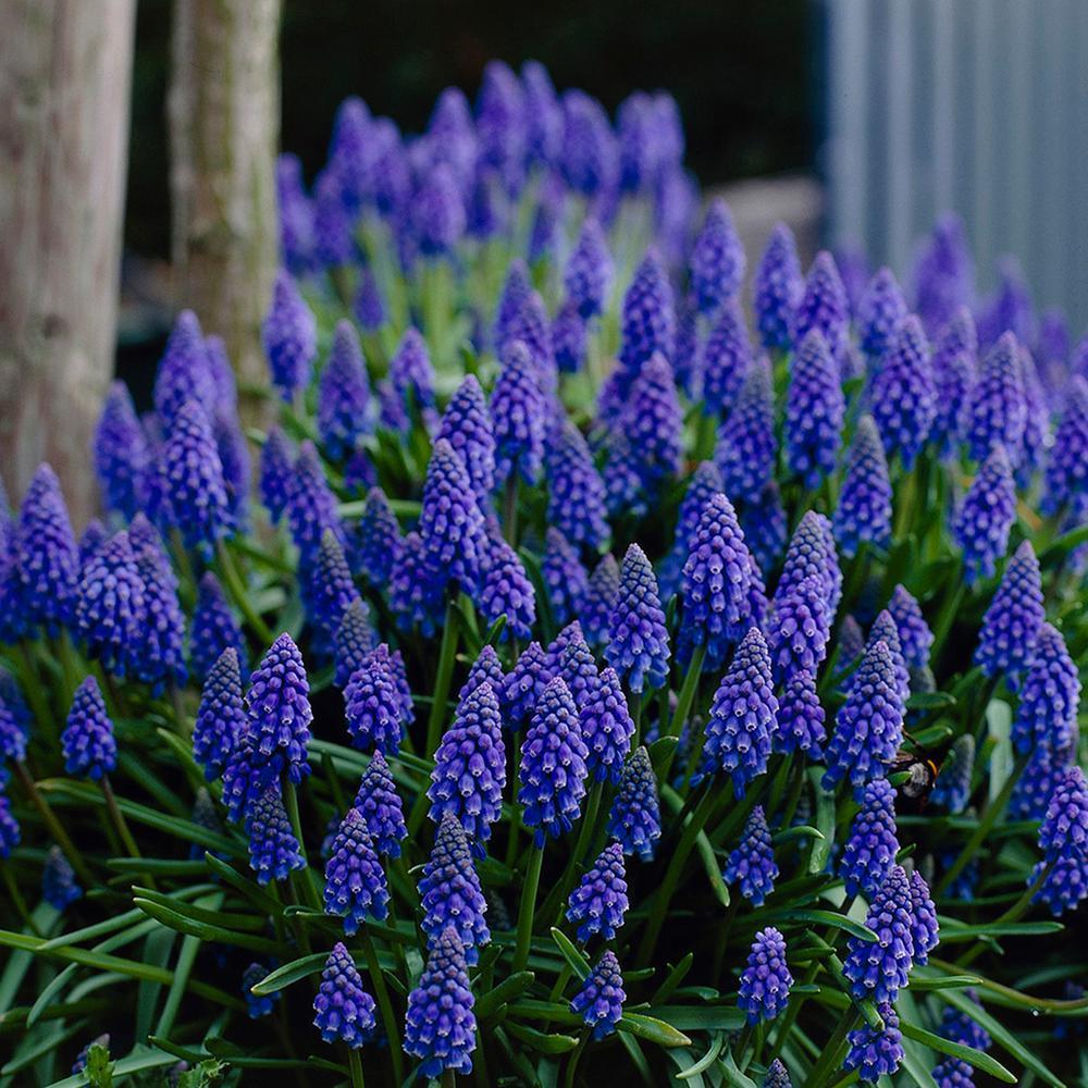 Grape Hyacinths (Set of 12)