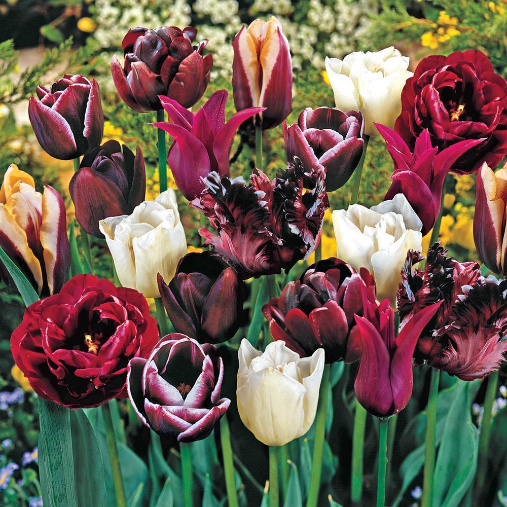 Mysterious Tulip Medley Bulbs Mixture (15-Pack)