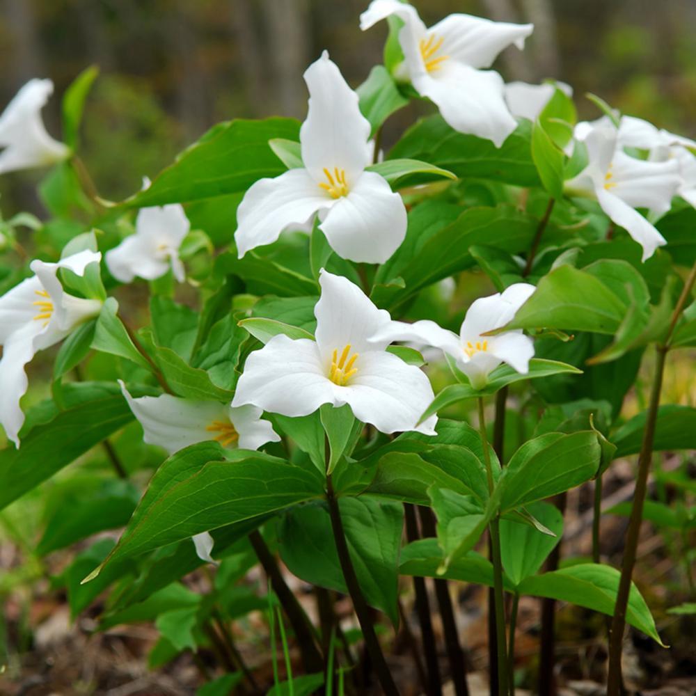 Woodland Plant Trillium Grandiflorum Roots (3-Pack)