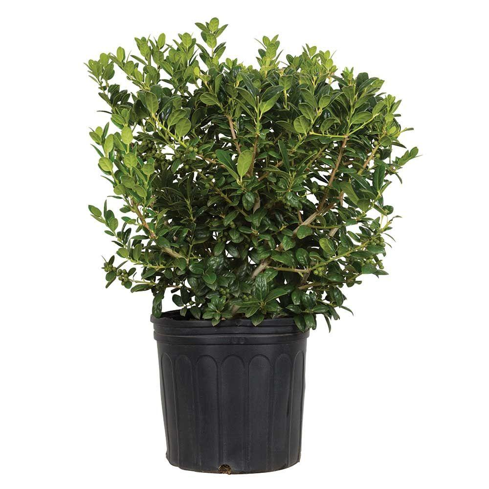 7 Gal. Dwarf Burford Holly(Ilex), Live Evergreen Shrub, Glossy Foliage with