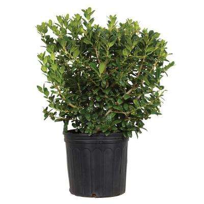 Holly Shrubs Trees Amp Bushes The Home Depot