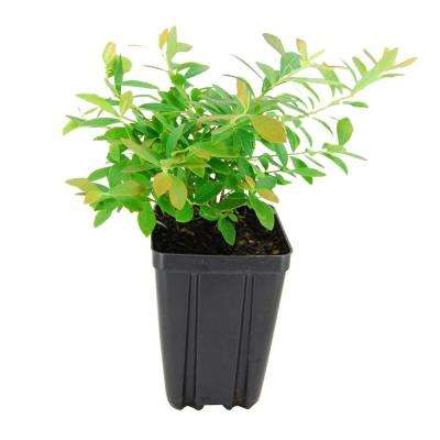 Top Hat Blueberry Fruit Bearing Potted Shrub
