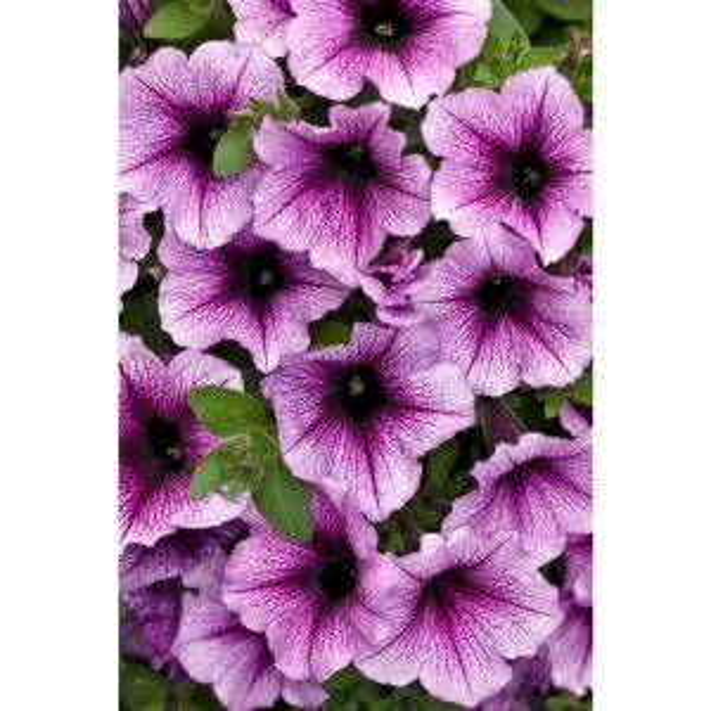 proven winners supertunia bordeaux petunia live plant