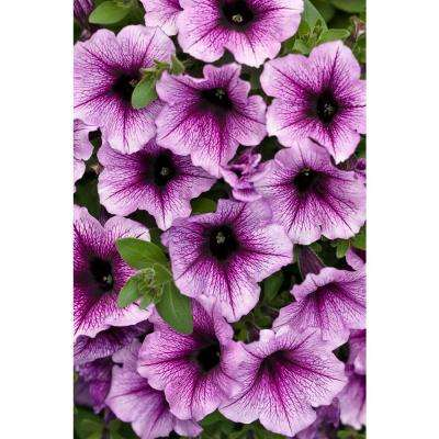 Supertunia Bordeaux (Petunia) Live Plant, Light Purple Flowers with Deep Plum Veins, 4.25 in. Grande, 4-pack