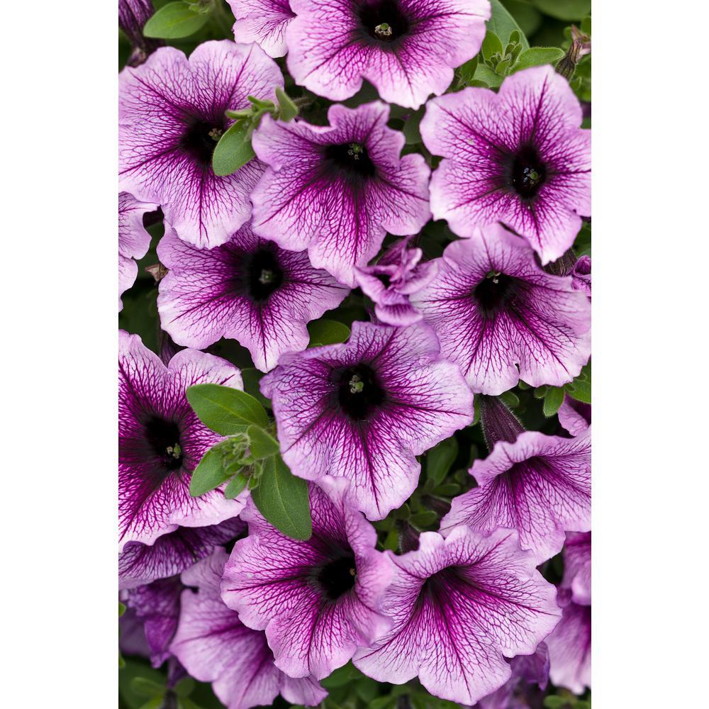 4.25 in. Supertunia Bordeaux (Petunia) Live Plant, Light Purple Flowers with Deep Plum Veins Grande (4-Pack)