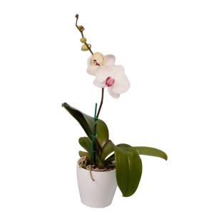 White Phal Orchid in European Pottery
