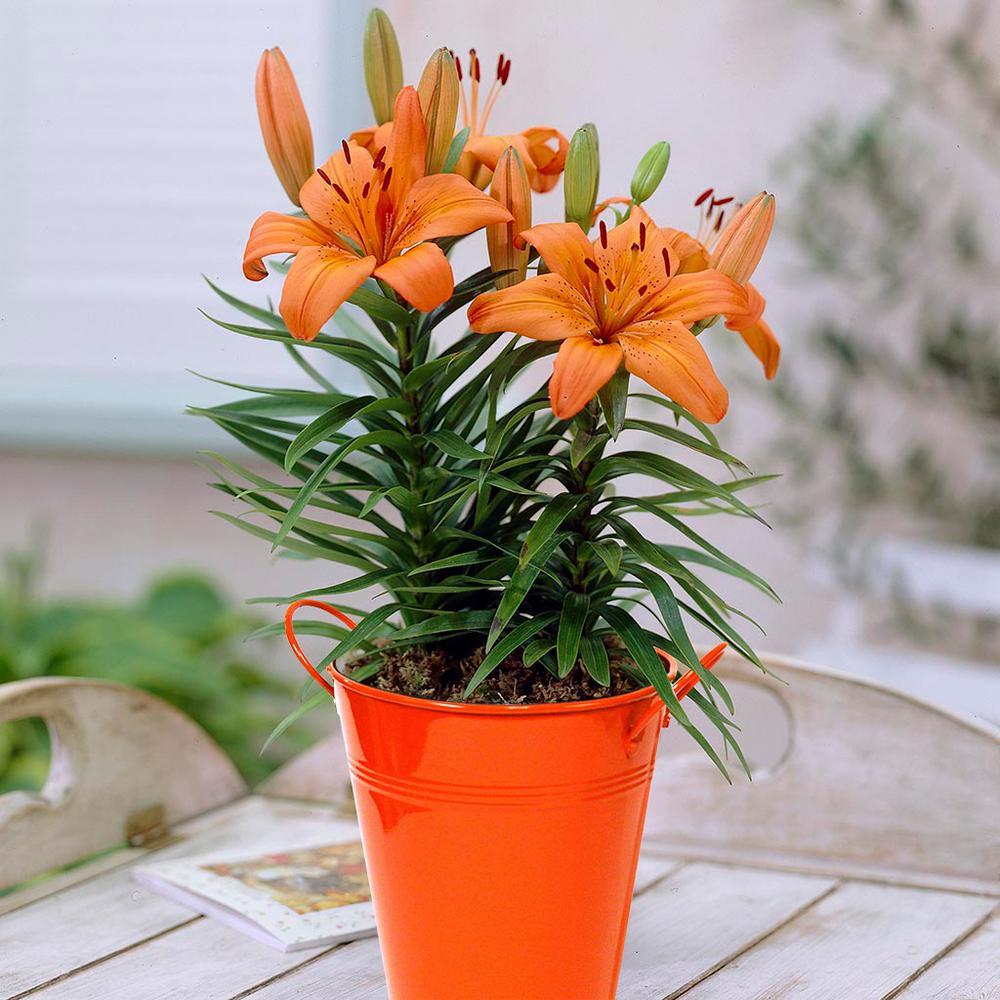 Van Zyverden Patio Lily Orange Pixie With Orange Metal Planter And