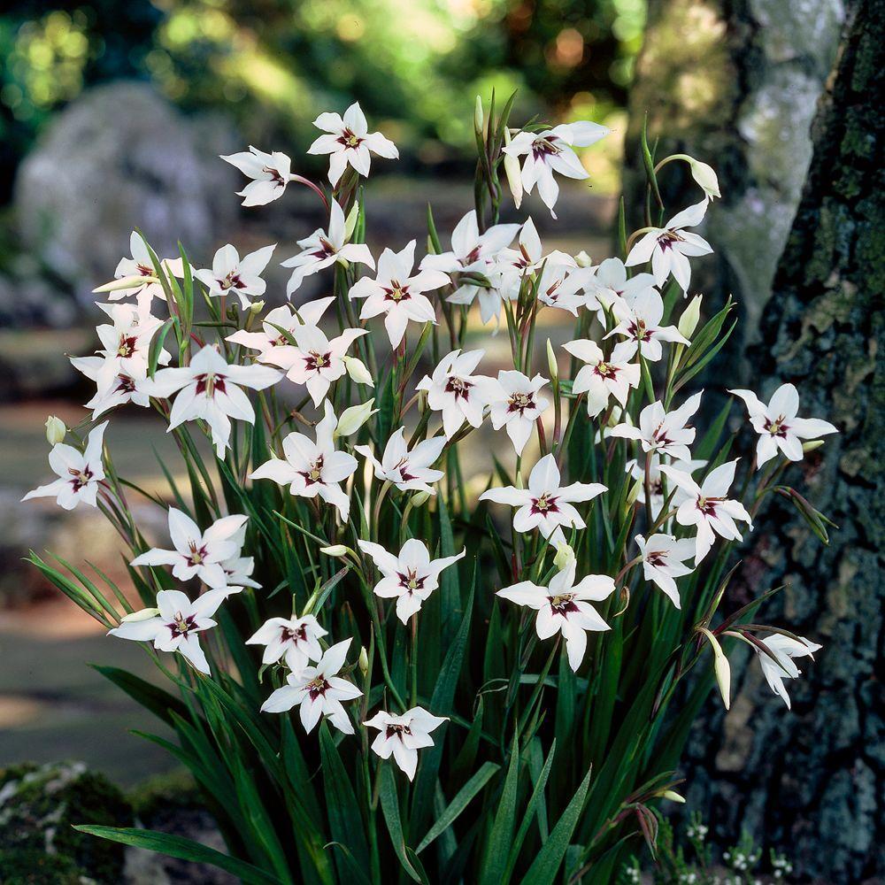 Martha Stewart Living Acidanthera Dormant Bulbs (90-Pack)-DISCONTINUED
