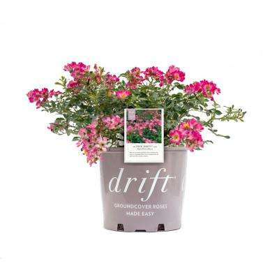 2 Gal. Drift Rose Plant with Pink Flowers