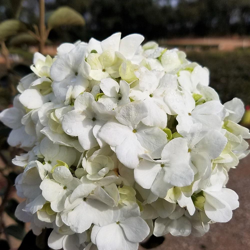 925 In Pot Chinese Snowball Viburnum Live Deciduous Shrub