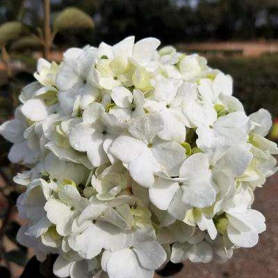 9.25 in. Pot - Chinese Snowball Viburnum, Live Deciduous Shrub, White Hydrangea-like Bloom Clusters
