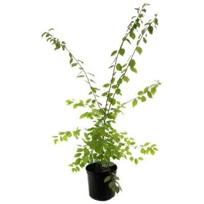 2.25 Gal. Deciduous Mexican Plum Tree