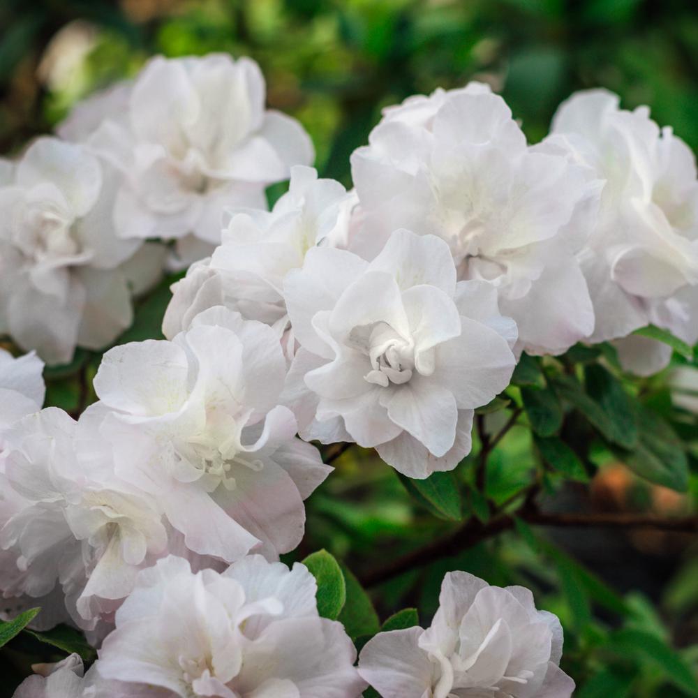 2.5 qt. Azalea Hardy Gardenia Flowering Shrub with White Blooms