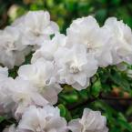 2.25 Gal. Azalea Hardy Gardenia Flowering Shrub with White Blooms