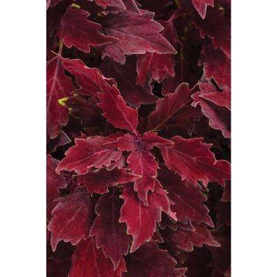 4-Pack, 4.25 in. Grande ColorBlaze Royale Cherry Brandy Coleus (Solenostemon) Live Plant, Red Foliage