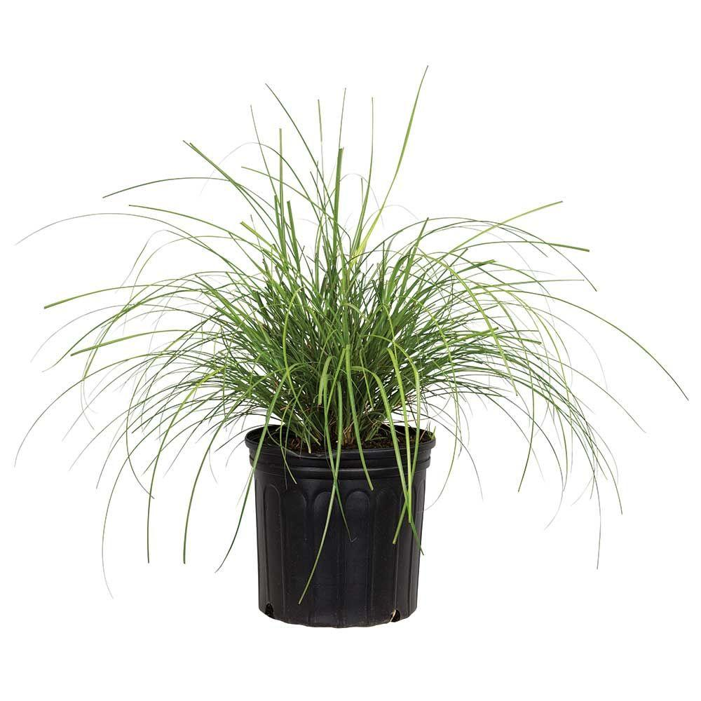 Vigoro 3 gal adagio miscanthus japanese silver grass for Japanese mounding grass