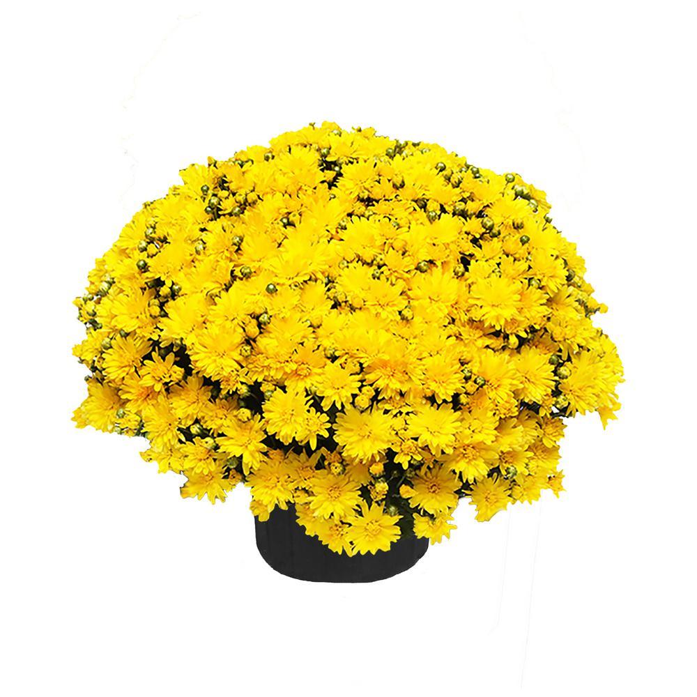 3 Qt. Chrysanthemum (Mum) Plant with Yellow Flowers