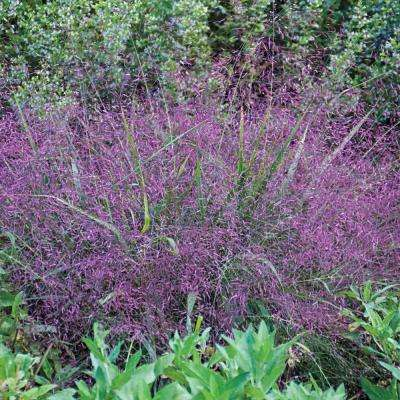 2 in. Pot Purple Love Grass Eragrostis Live Deciduous Plant Green Foliage with Red Plumes Perennial (1-Pack)
