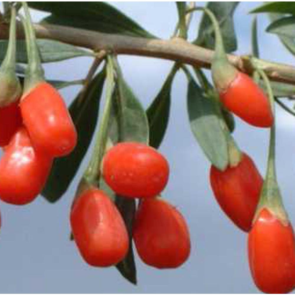 Sweet Berry Selections Fruit Bearing Potted Goji Berry Plant