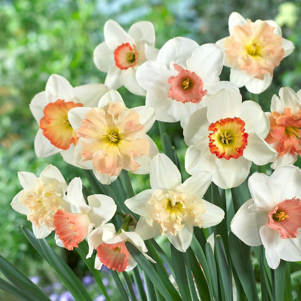 Pink Daffodil Mix Bulbs 50 Countpack Hof18 02 The Home Depot