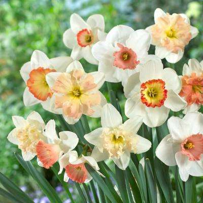 Spring to summer garden plants flowers garden center the pink daffodil mix bulbs 50 countpack mightylinksfo