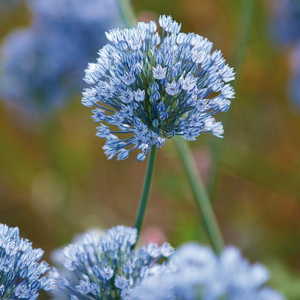 Blue flower bulbs garden plants flowers the home depot allium bulbs azureum blue globe onions set of 25 mightylinksfo