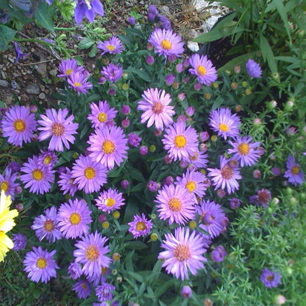 OnlinePlantCenter 1 gal. Wood's Purple New York Aster Plant