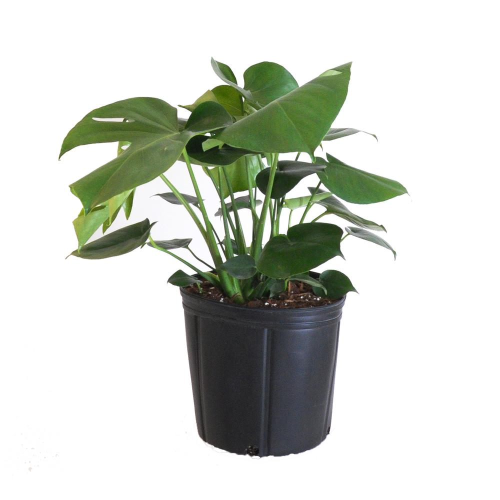 United Nursery Monstera Plant Live Swiss Cheese Multi-stem Plant in 9.25 in. Grower Pot 22 in. - 28 in. Tall