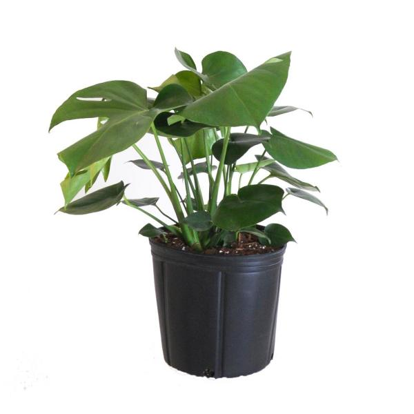 Monstera Plant Live Swiss Cheese Multi-stem Plant in 9.25 in. Grower Pot 22 in. - 28 in. Tall