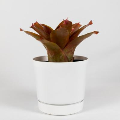 Orange Parfait (Neoregelia) Bromeliad Live Plant in 8 in. Decorator White Contemporary Pot with Built in Saucer