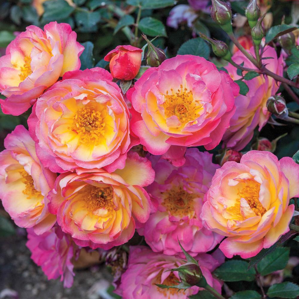Spring Hill Nurseries Watercolors Home Run Shrub Rose Live Bareroot