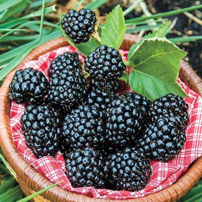 Arapaho Blackberry (Rubus) Live Bareroot Fruiting Plant Grown in a 3 in. Pot (1-Pack)