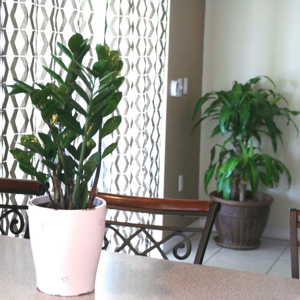 ZZ Plant in 6 in. Grower Pot