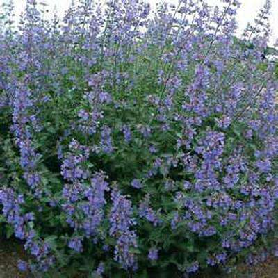 3 in. Catnip Herbal Plant