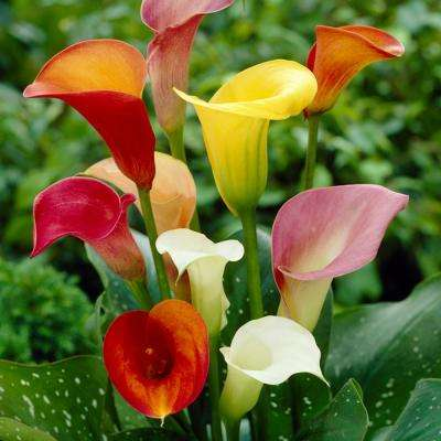 Callas Mixed Colors Bulbs Set Of 8