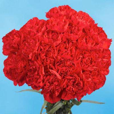 Fresh Red Valentine´s Day Carnations (200 Stems)