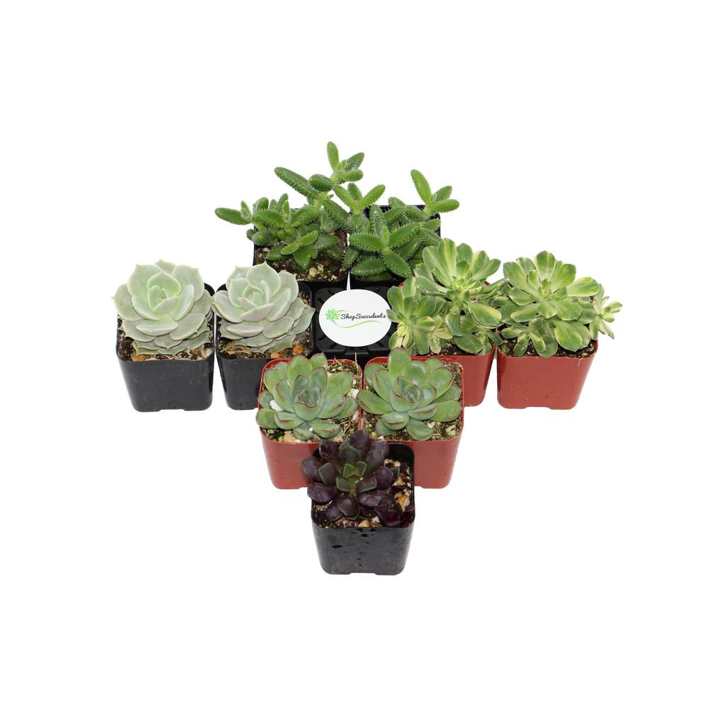 2 in. Assorted Succulent (Collection of 9)