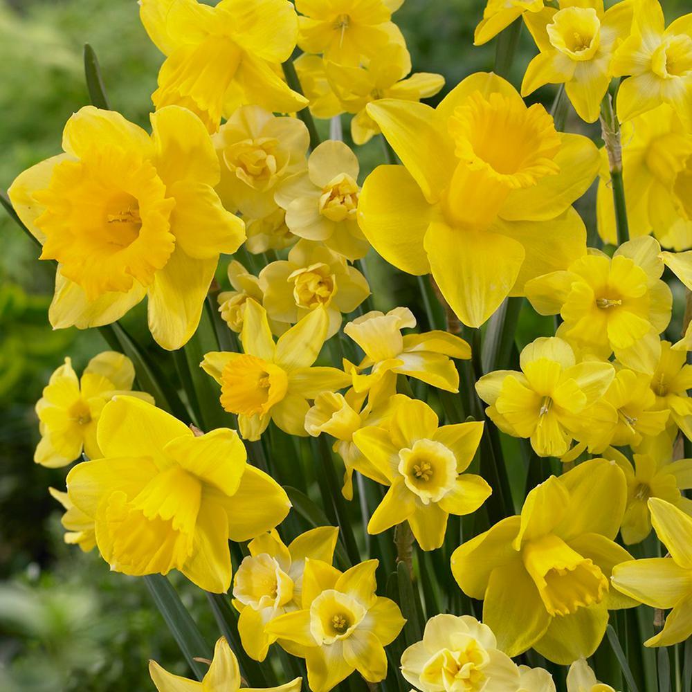 Daffodils Bulbs Season of Sunshine Mixture (Set of 25)