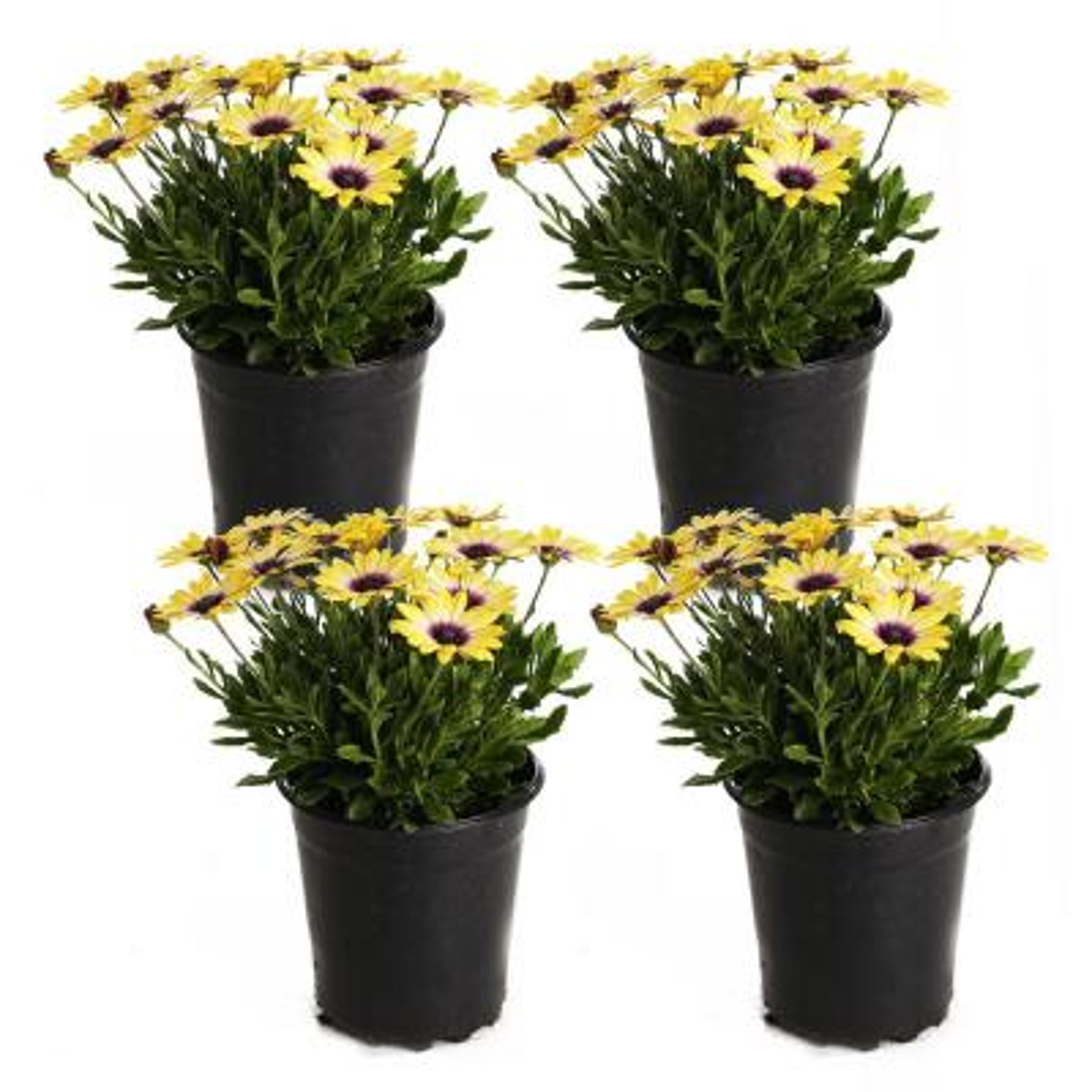 2.5-Qt. #1 Blue Eyed Beauty Osteospermum Plant (4-Pack)