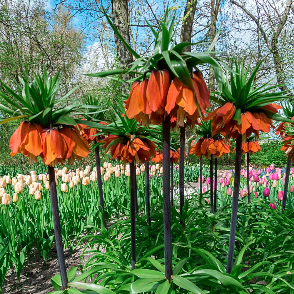 Spring Hill Nurseries Red Crown Imperial Fritillaria Bulbs 3 Pack