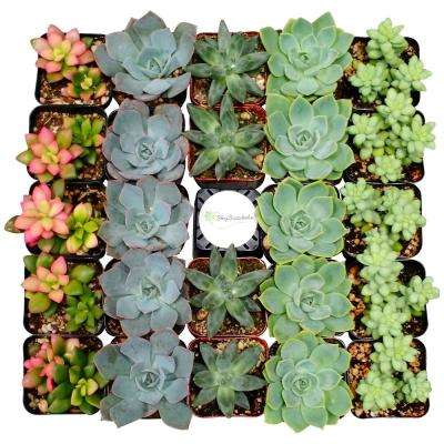 Non-Flowering Succulent - Succulents & Cactus Plants - Garden Plants on succulent pallet wall, succulent plants, succulent with pink flowers, succulent wall decor, succulent pig, succulent varieties, succulent wall letters, succulent ivy, succulent id, succulent toes, succulent leaves, succulent vines, succulent living wall,