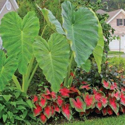9 in. to 11 in. Elephant Ear Green (3/Bag)