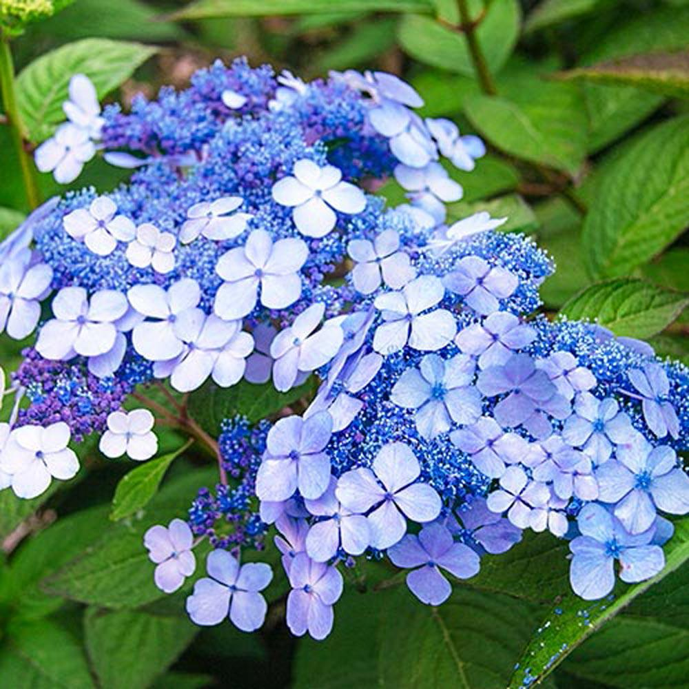 Pot Teller S Blue Hydrangea Live Deciduous Plant Lacecap Flowering Shrubs 1 Pack