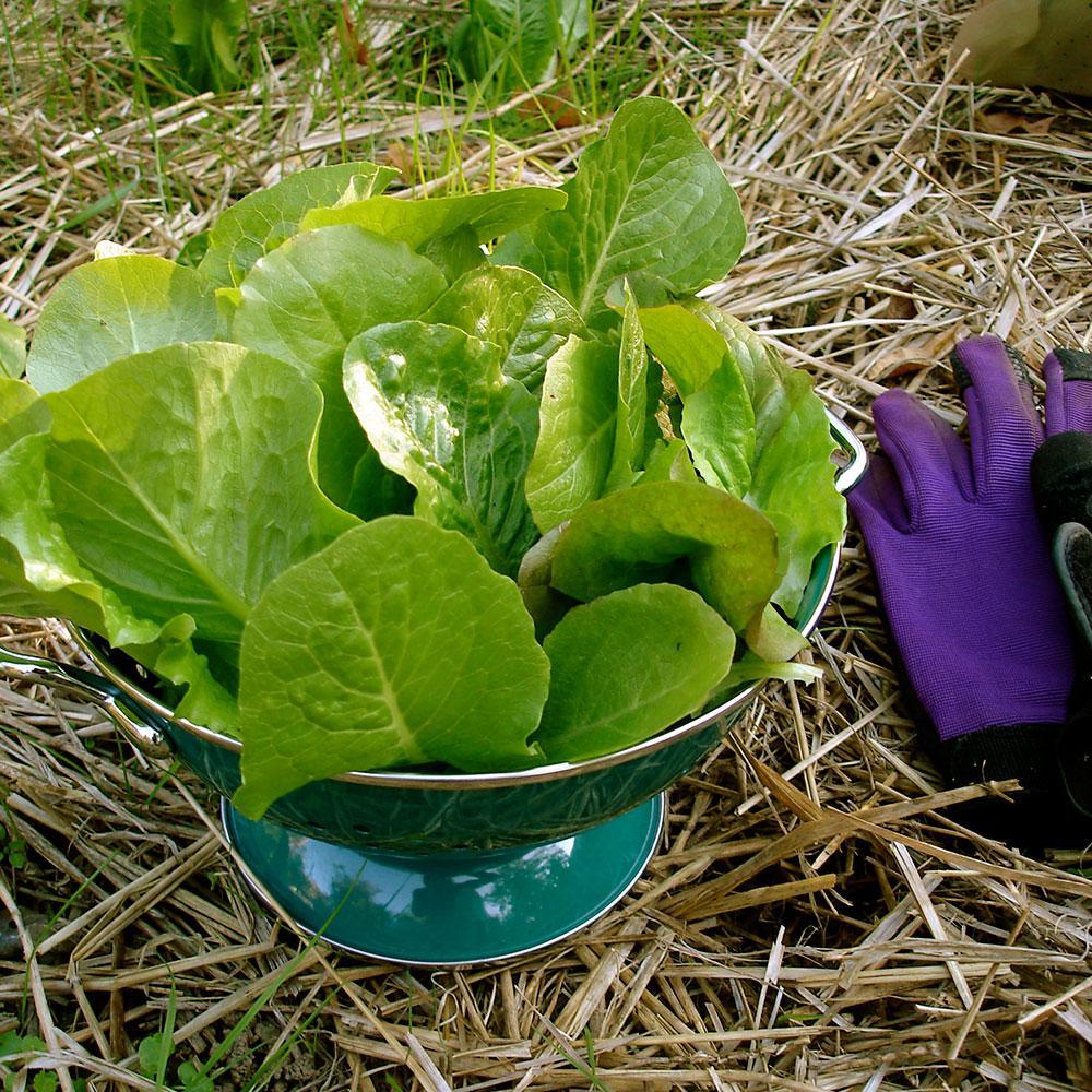 6PK Lettuce - Romaine Green