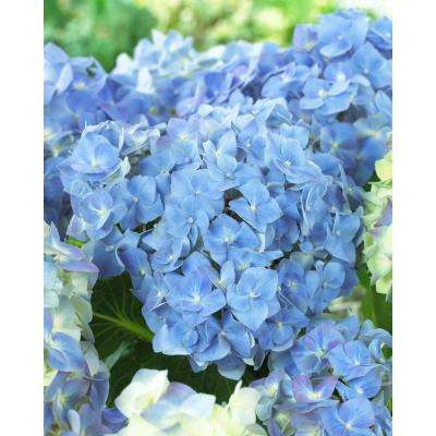 4 in. Pot Forever  and  Ever Blue Heaven Hydrangea Live Deciduous Plant Blue Flowers (1-Pack)