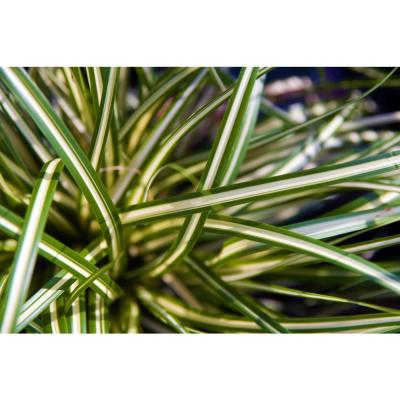 1 Gal. Ice Dance Japanese Sedge Grass - Colorful, Small, Easy Growing Variegated Evergreen Grass