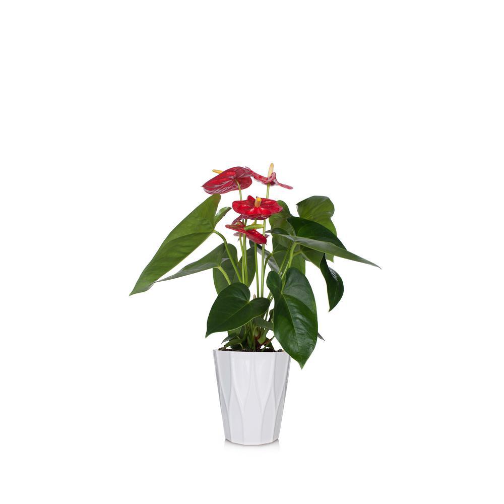 Red  5 in. Essential Anthurium Plant in Ceramic Pot