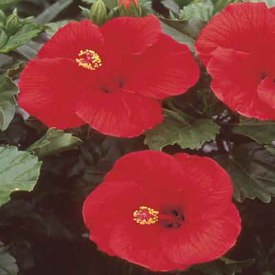 2.5 Qt. Hibiscus Shrub with Red Flowers